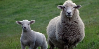 sheep-2625347_640 - Tvregion12.ru