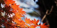 red-maple-leaf-507545_640 - Tvregion12.ru